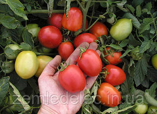Семена томата Эскорт 300 гр. Semo