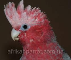 Рожевий какаду