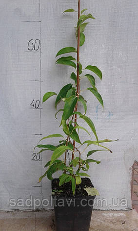 Саженцы актинидии аргута Джамбо в конт 2л (женская) 2хлетний, фото 2