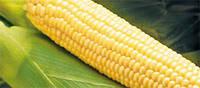 Семена кукурузы сахарной Бостон F1 (100 000) Сингента