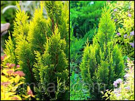 Кипарисовик лавсона Алюми Голд ( р9 10-15см саженцы), фото 2