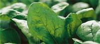 Семена шпината Эль Фортэ (100 000 семян) Сингента