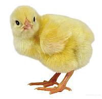 Суточный цыплёнок несушки