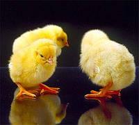 Суточный цыплёнок бройлера