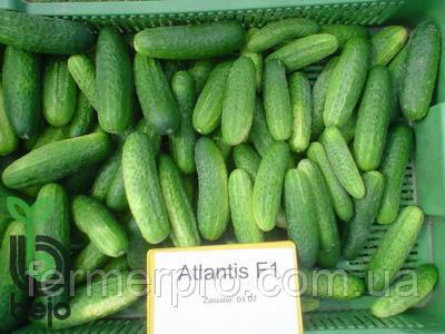 Семена огурца Атлантис F1 /Atlantis F1 1000 семян Bejo