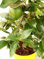 Лайм Таити, Персидский Лайм (tahitian lime, lime tahiti, persian lime до 20 см. Комнатный