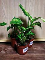 Уценка комнатных растений Диффенбахия