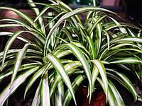 Уценка комнатных растений Хлорофитум