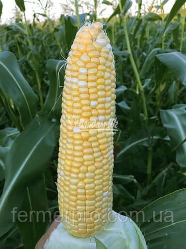 Семена кукурузы Камберленд F1 50000 семян Clause