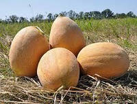 Дыня Кэтрин F1 (Catherine RZ), 100 семян (тип Ананс, плод 2,5-4,0 кг)