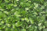 Салат Корн Сирила (Cirilla RZ), зеленый, 100 000 семян