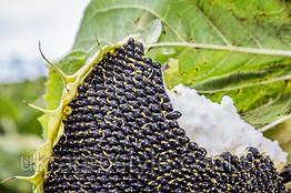 Семена подсолнуха Гастон (под Гранстар)