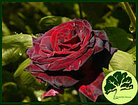 Роза Black Baccara