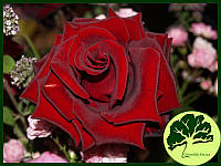 Роза Блек Мейджик