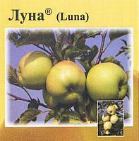 Саженцы яблони Луна ( Чехия )