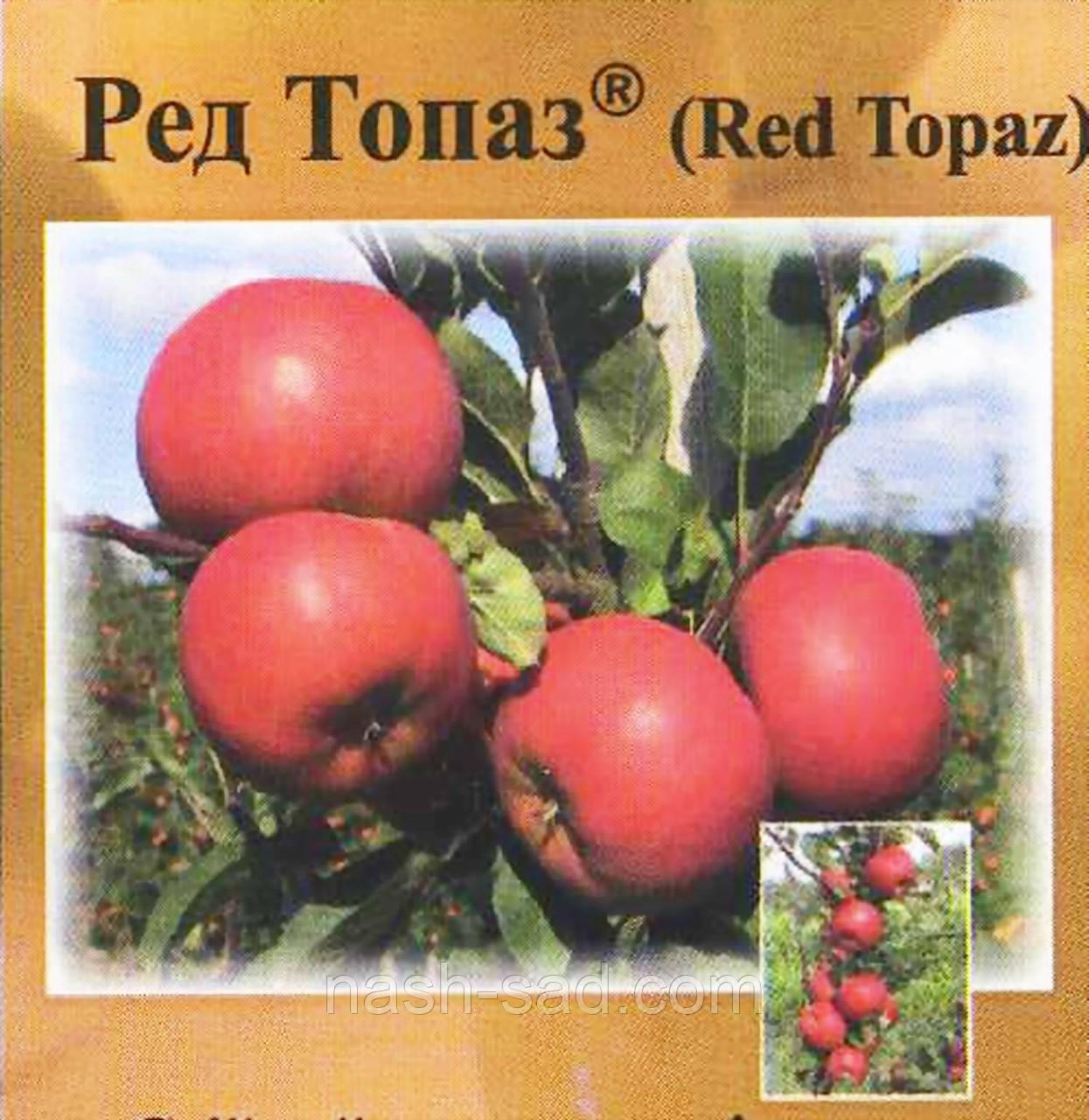 Саженцы яблони  Ред Топаз