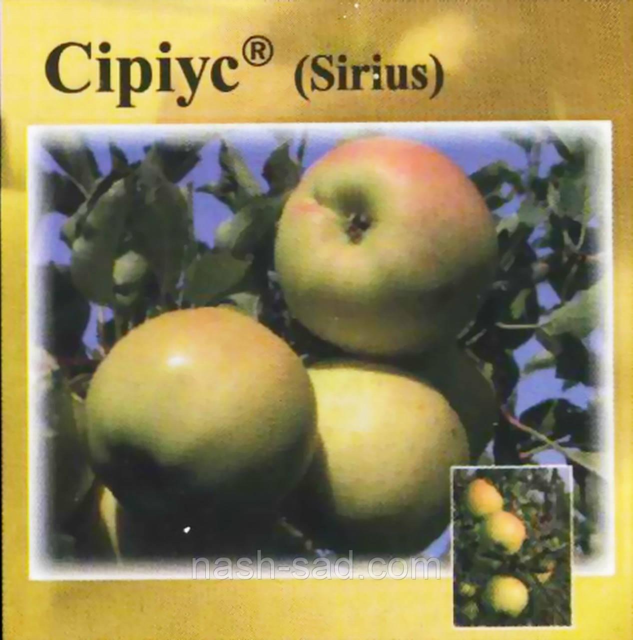 Саженцы яблони Сириус ( Чехия )