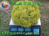 Салат ЗЛАТАВА / ZLATAVA  ТМ SEMO (Чехия) проф. пакет 1000 семян, фото 3