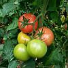 Семена томата Максин F1 \ Maxin F1 500 семян Vilmorin