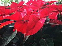 Пуансеттия (Рождественская звезда), фото 1