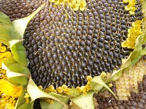 Семена подсолнечника Гранд Адмирал под Гранстар устойчивый к заразихе А-G