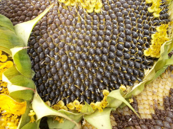 Семена подсолнечника Гранд Адмирал под Гранстар устойчивый к заразихе А-G, фото 2