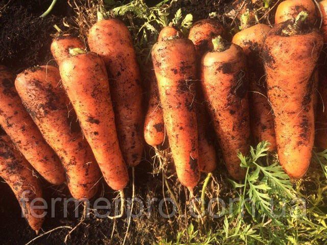 Семена моркови Натива F1 100.000 семян Sakata