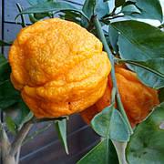 Померанец Каналикулата (Citrus canaliculata) Комнатный