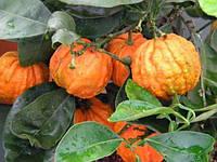 Померанц Каналикулата (Citrus canaliculata) до 20 см., фото 1