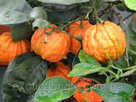 Померанец Каналикулата (Citrus canaliculata) до 20 см. Комнатный