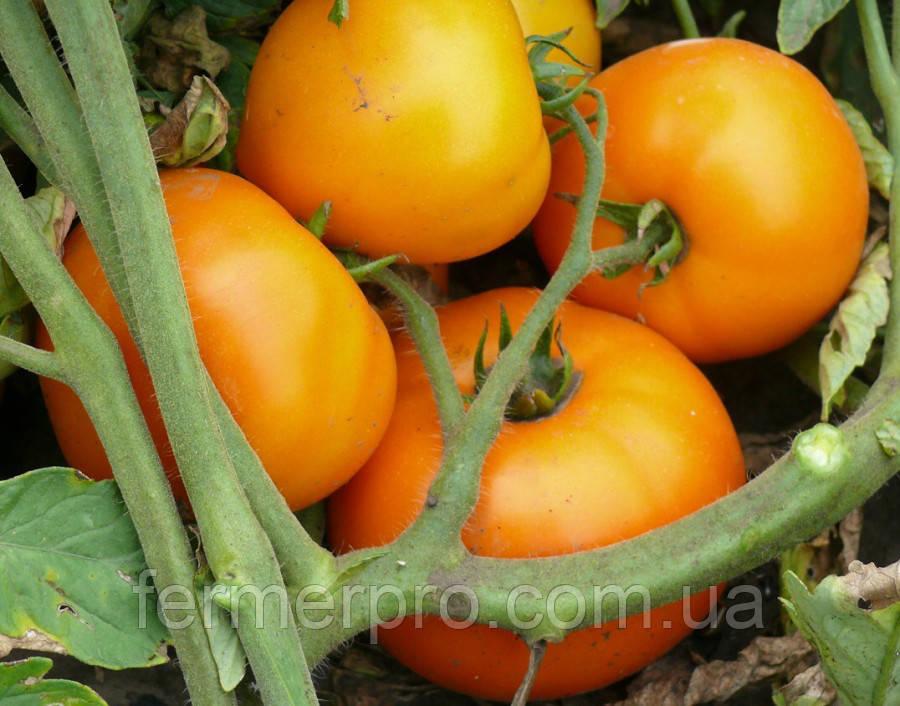 Семена томата Свит Сан F1 500 семян Lark seeds