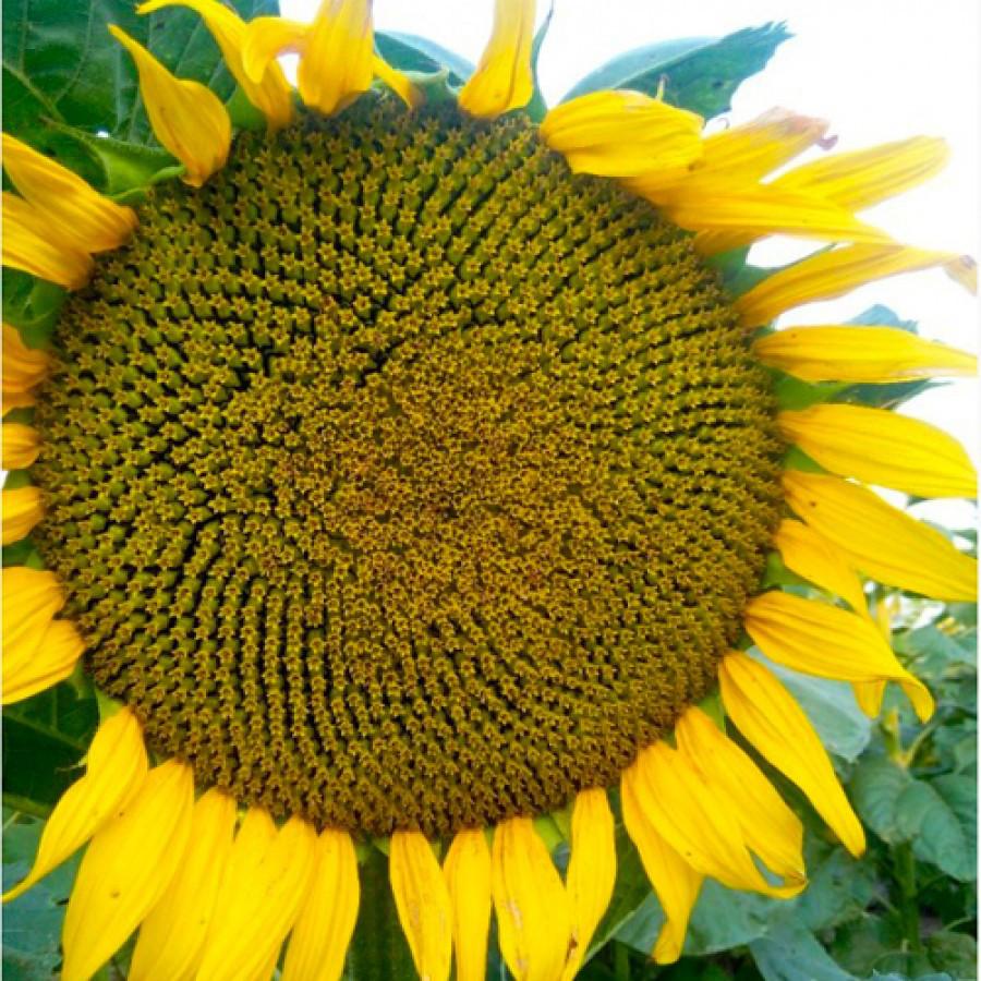 Семена раннего подсолнечника Кардинал, 95-100 дней, фр. стадндарт