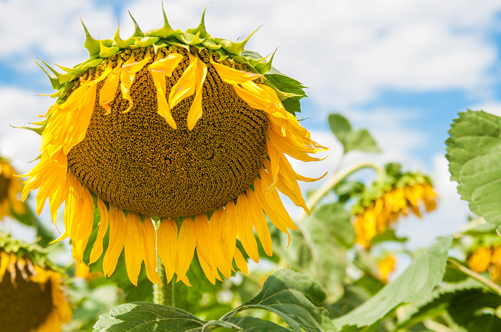 Семена среднераннего подсолнечника  Дозор 100-105 дней вегетация