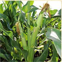 Семена кукурузы - Солонянський  298 СВ