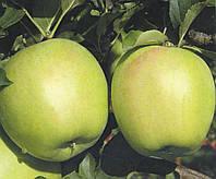 Саженцы яблони Мутсу (Япония)