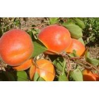 Саженцы абрикоса Ровада (Канада)