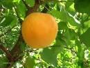 Саженцы абрикоса Голдрич(США)