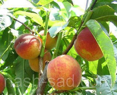 Саженцы персика Гербрайт (США)