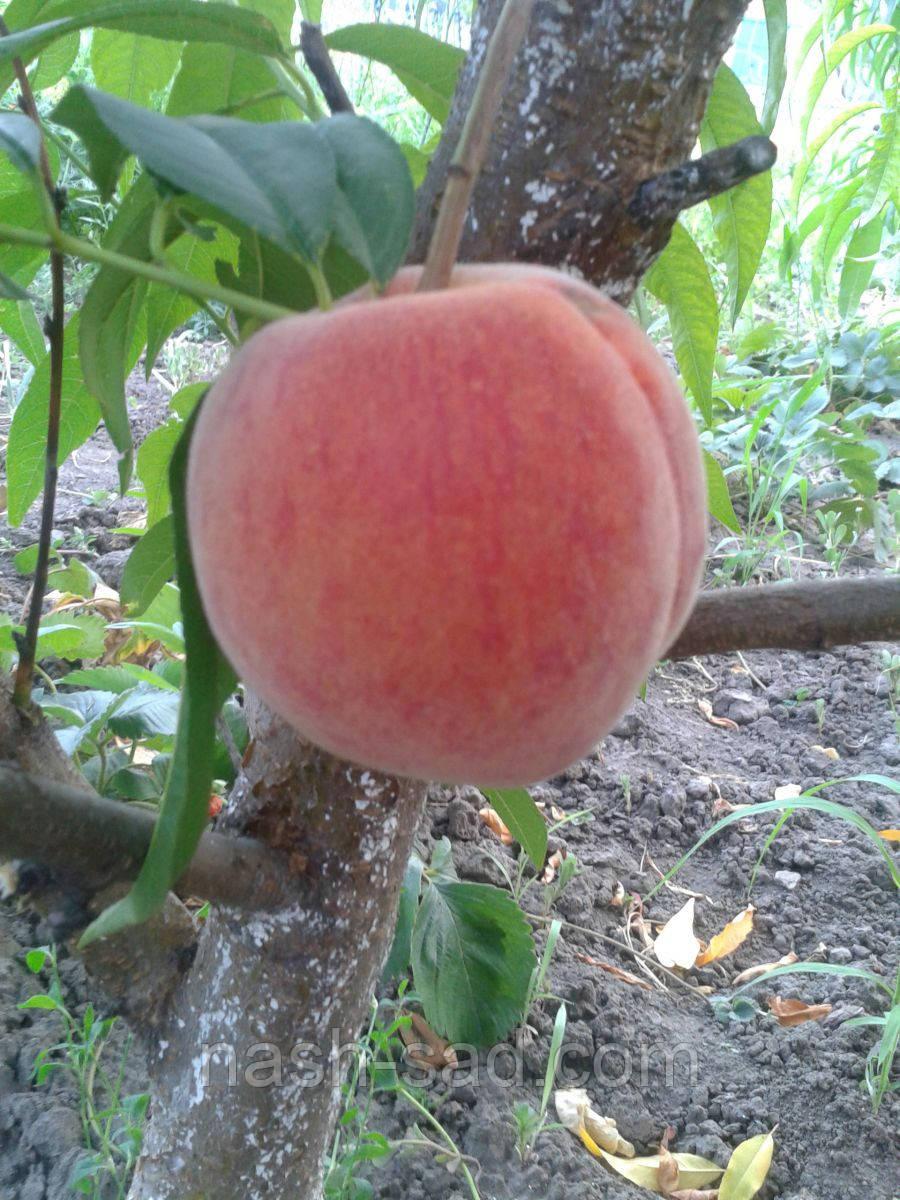 Саженцы персика Кондор ( США )