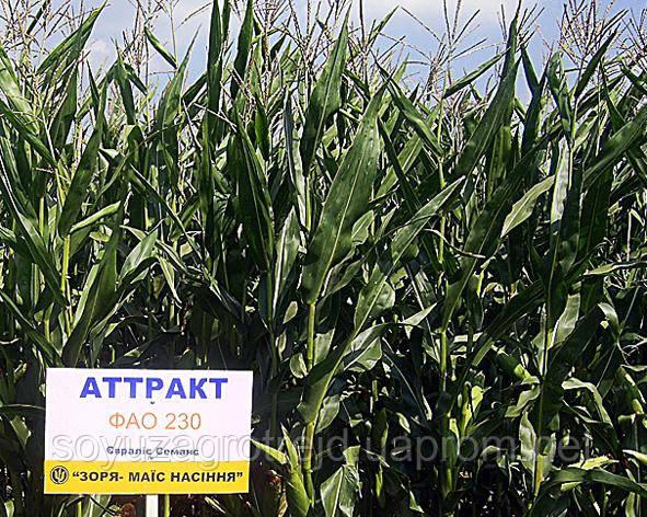 Аттракт семена кукурузы