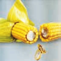 Семена кукурузы - Делитоп (2014 г)
