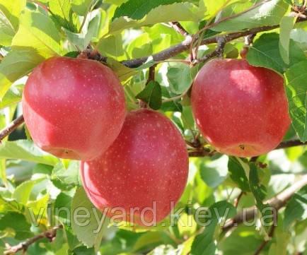 Санрайз, Sunrise саджанці яблуні літнього терміну дозрівання на підщепі М-9 в Києві У КОНТЕЙНЕРІ
