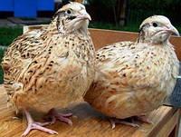 Инкубационное яйцо перепелов яичной породы Маньчжурская
