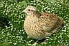 Инкубационное яйцо породы Феникс