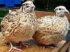 Перепела породы Маньчжурские (от суточных до несушки)