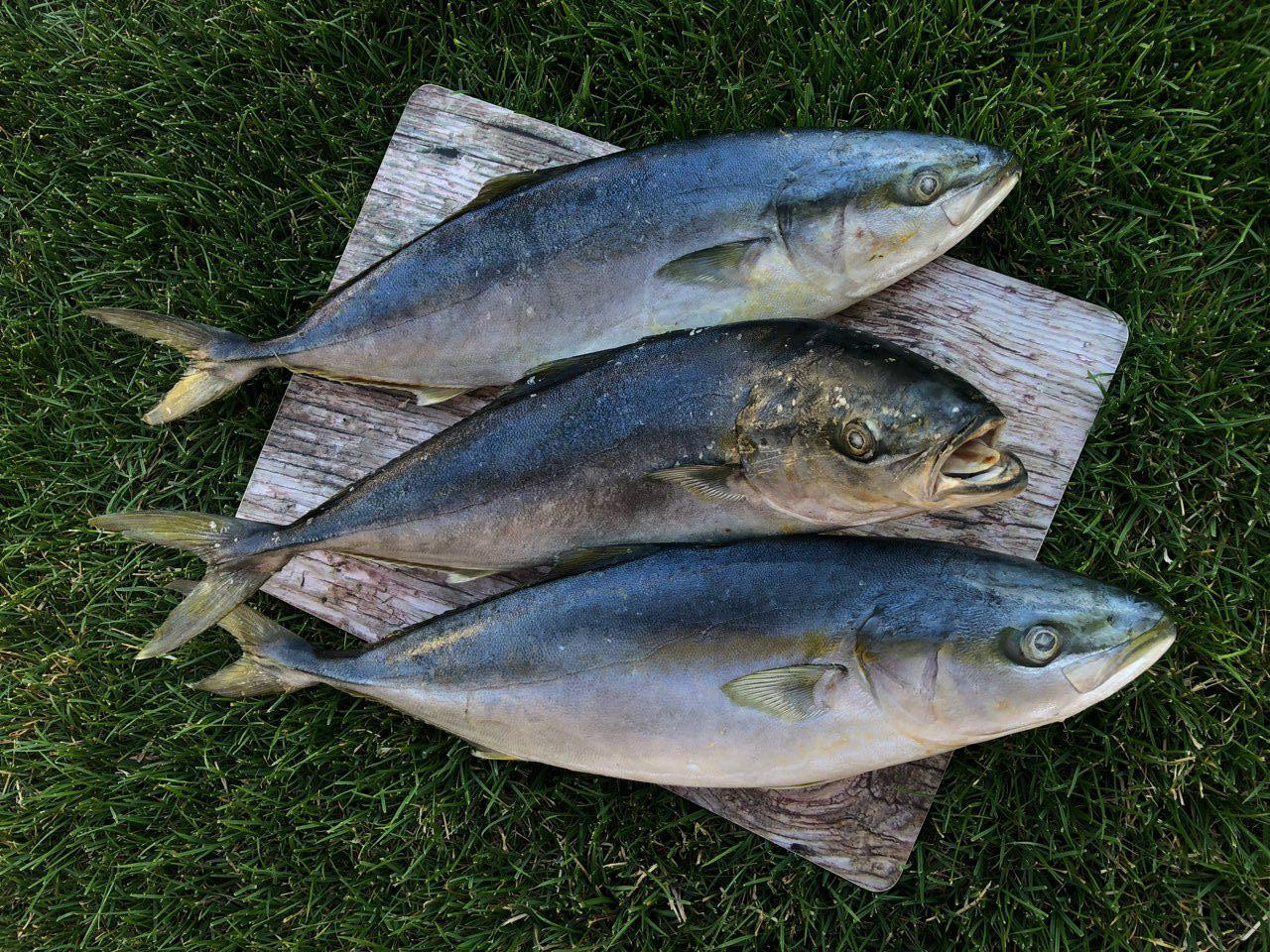 Рыба желтохвост (лакедра ,тунец)  800-1300 кг,Одесса