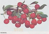 Саженец вишни Встреча (Украина)