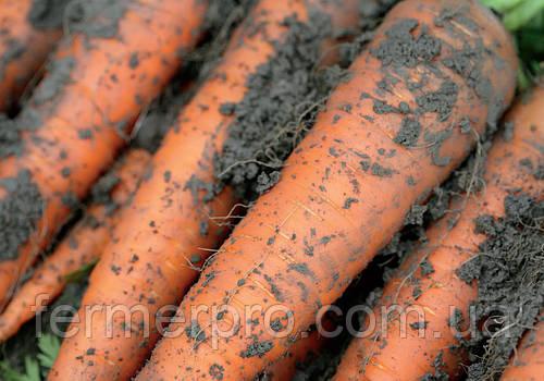 Семена моркови Каротан \ Karotan 250 грамм Rijk Zwaan