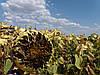 Семена подсолнечника под Гранстар ЕС АЛЬФА. Урожайный гибрид ЕС АЛЬФА устойчивый к засухе и болезням. Удерживает пять рас заразихи А-Е. Экстра фракция
