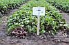 Семена свеклы Бебибит \ Babybeat (калибр 2.75-3.5)  25000 семян Rijk Zwaan